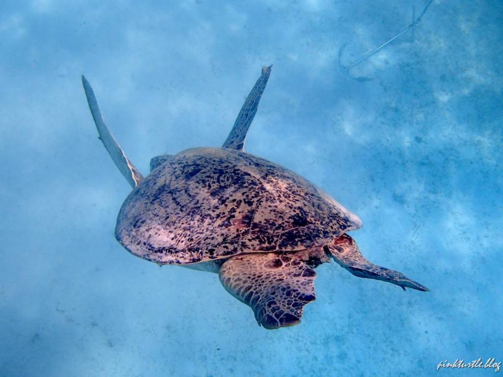 Tortue des Perhentian, Malaisie @pink.turtle.blog
