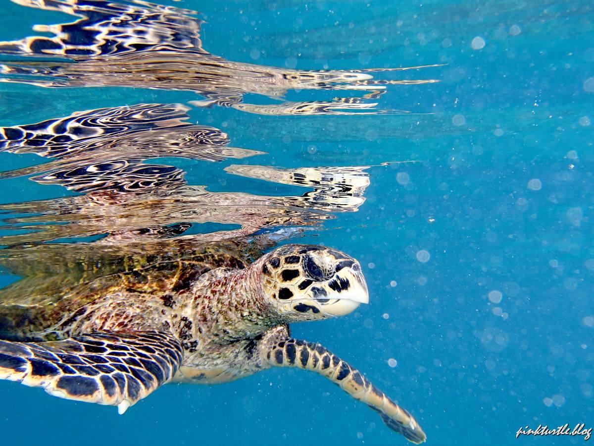 Tortue de Félicité, La Digue, Seychelles @pink.turtle.blog