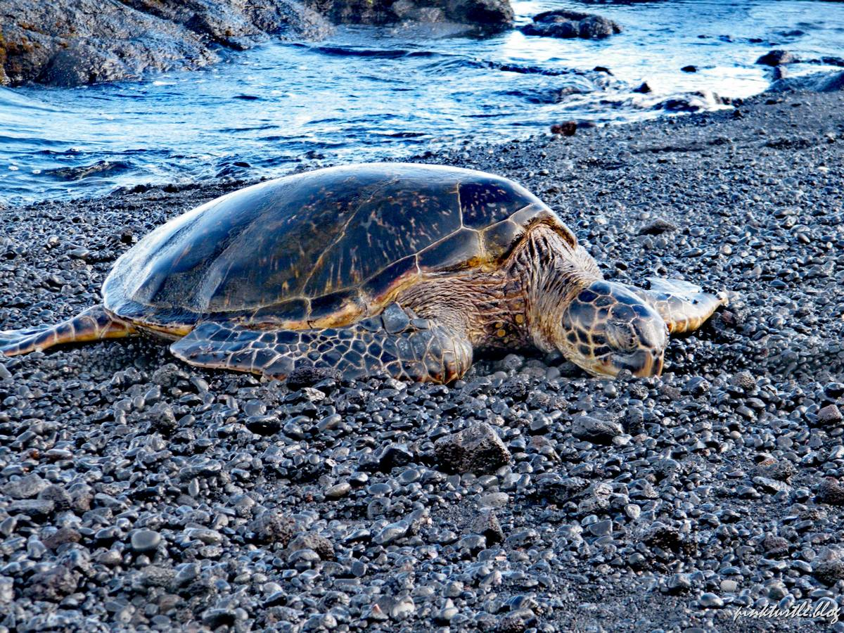 Tortue de Punaluu black sand beach, Hawaii @pink.turtle.blog