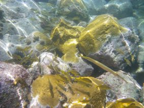 poisson trompette Anses d'Arlet