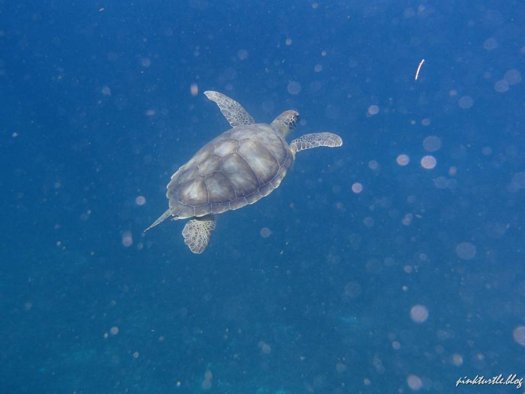 Tortue de Martinique @pink.turtle.blog