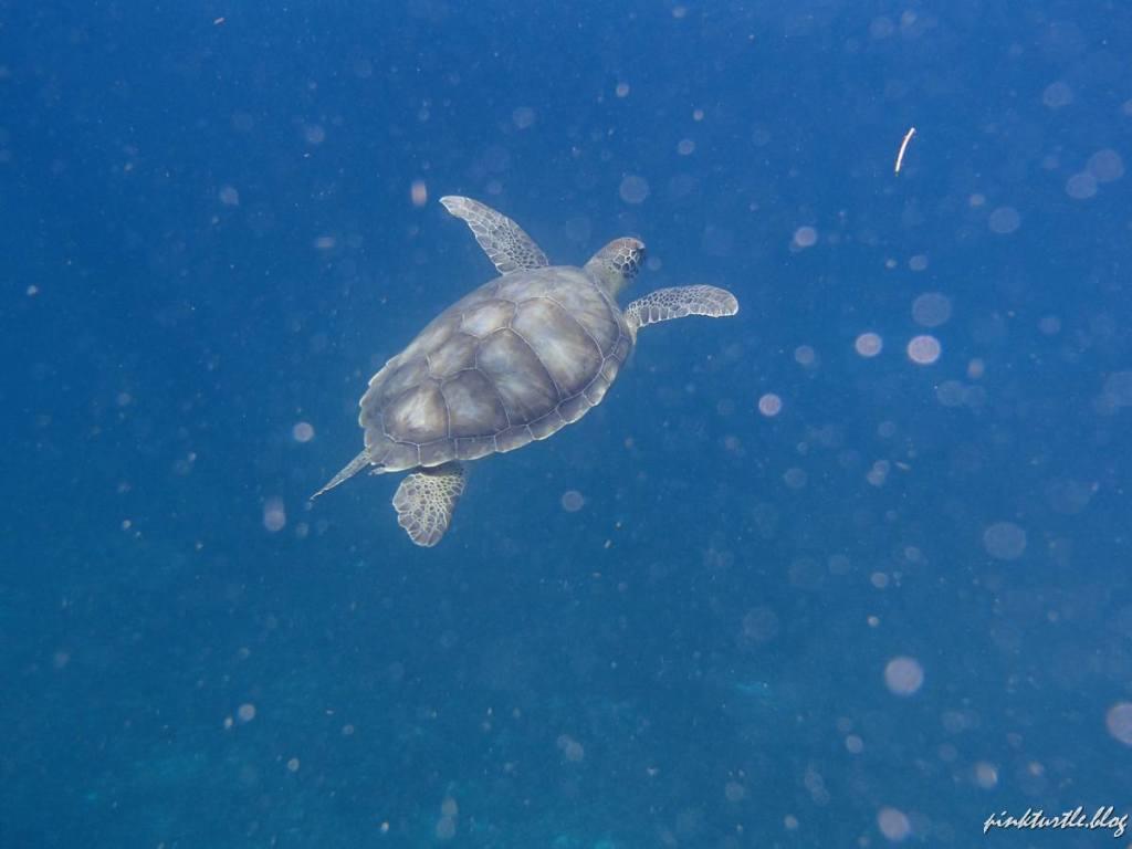 Tortue de Martinique @pink.turtle.blog