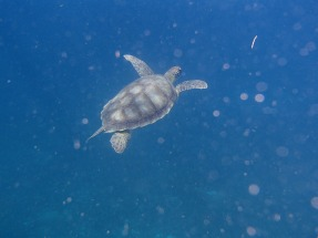 Tortue Anses d'Arlet, Martinique