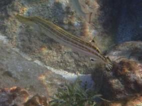 poissons trompette Anses d'Arlet