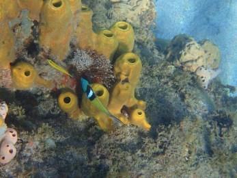 Anses d'Arlet snorkeling 4