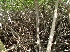 Caravelle mangrove