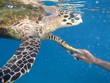 tortue île Coco, Félicité