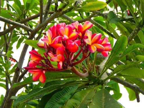 @pink.turtle.blog/ fleur de frangipanier (Bangkok)