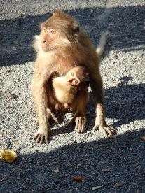 Singes de Monkey temple