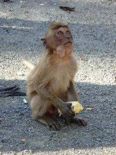 Singe de Monkey temple