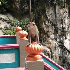 macaque, Batu caves