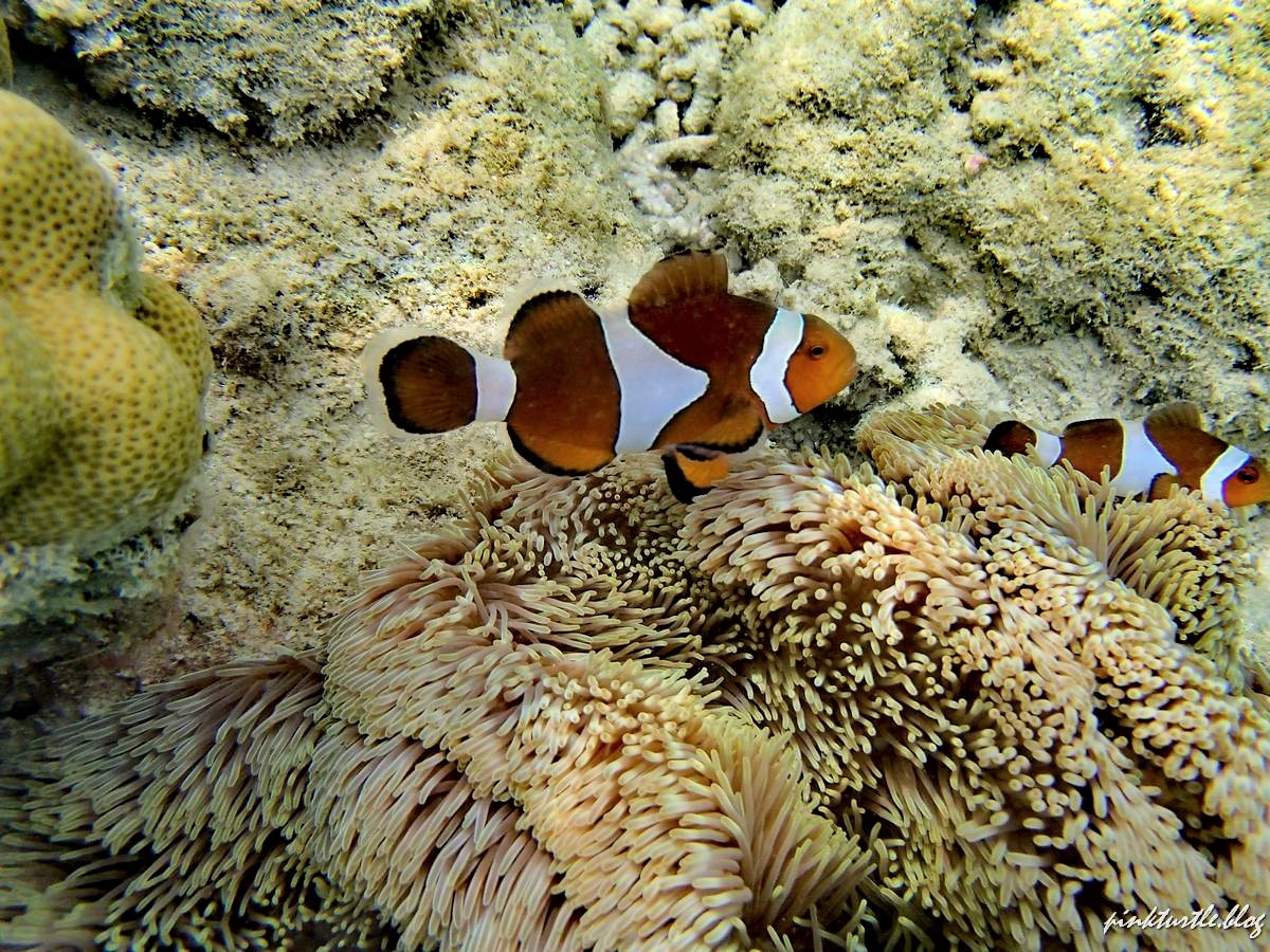 Poissons clowns, îles Perhentian @pinkturtle.blog