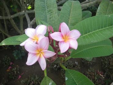 @pink.turtle.blog/ fleurs de frangipanier (Maurice)