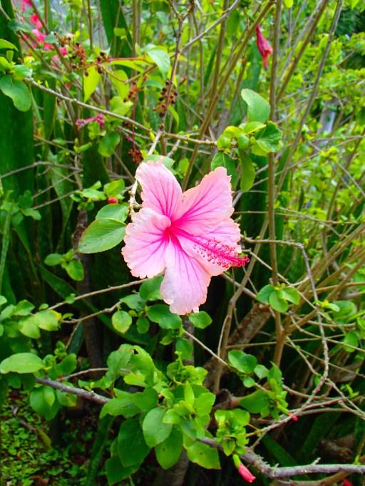 hibiscus Martinique