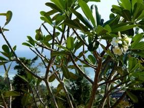 @pink.turtle.blog/ fleur de frangipanier (Koh Phi Phi)