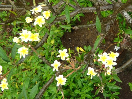 @pink.turtle.blog/ fleur de frangipanier (Martinique)