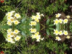 @pink.turtle.blog/ fleur de frangipanier (Martinique