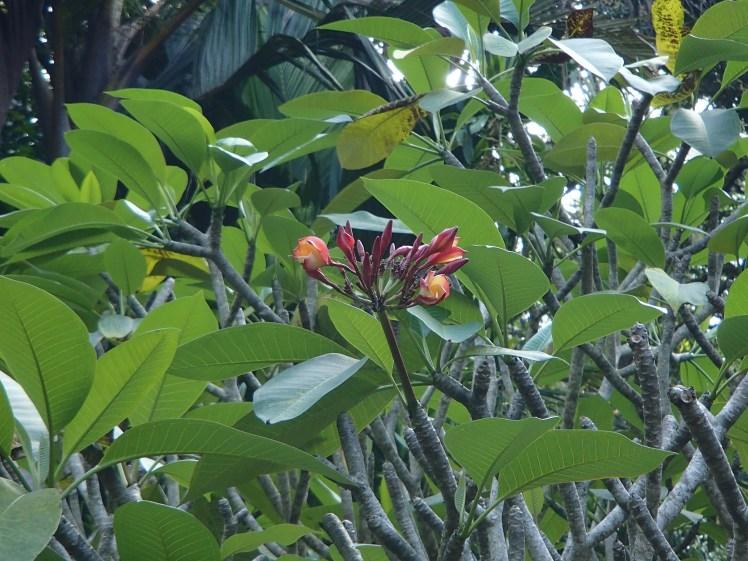 @pink.turtle.blog/ fleur de frangipanier (Seychelles)