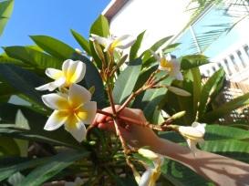 @pink.turtle.blog/ fleur de frangipanier (Réunion)