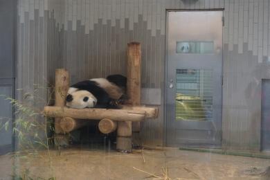 Pandas du zoo d'Ueno/@pink.turtle.blog