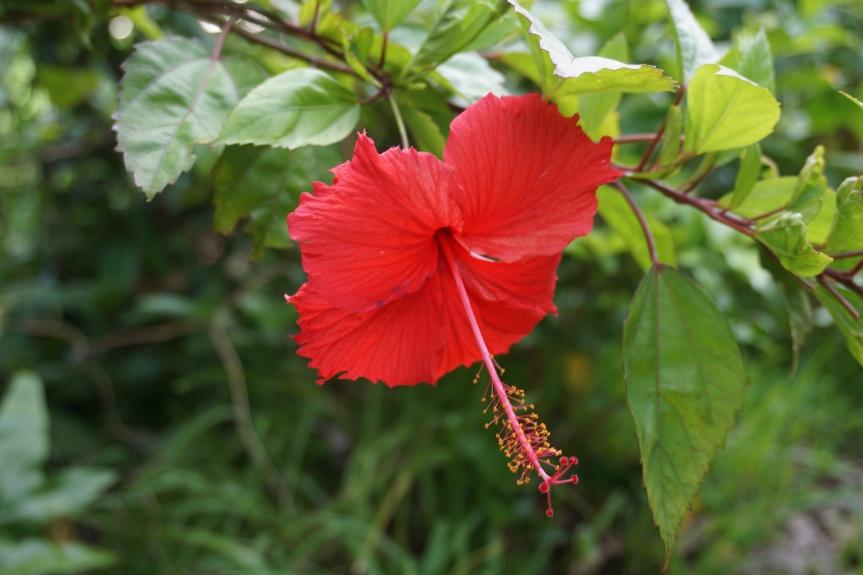 Kabira Bay, hibiscus/ @pink.turtle.blog