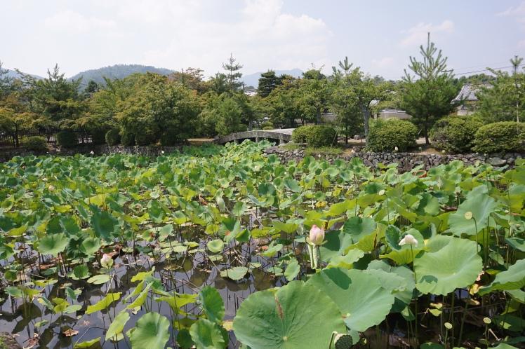 Etang de lotus derrière Tenryu-ji/ @pink.turtle.blog