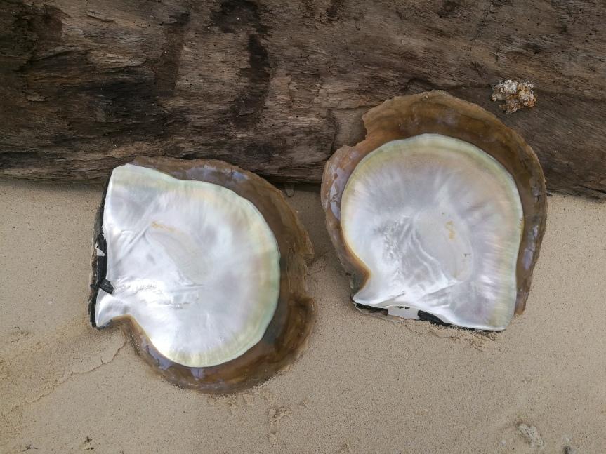 Coquilles d'huîtres perlières/ @pink.turtle.blog
