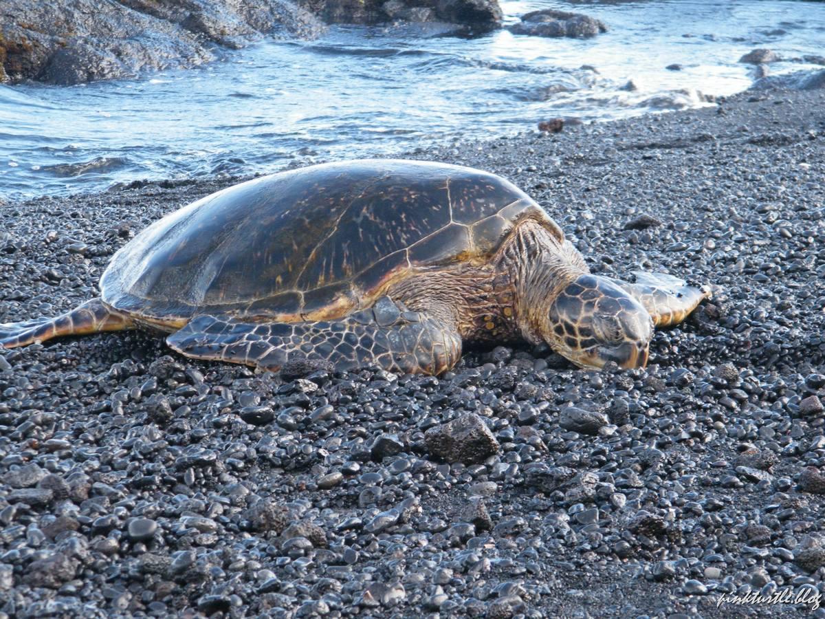 Tortue de Big Island, Hawaii @pink.turtle.blog