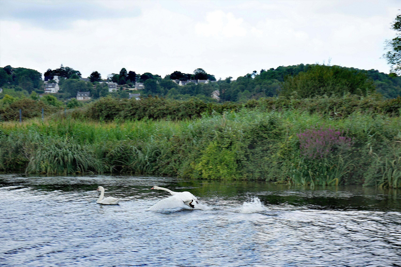 Cygnes, Canal de Nantes à Brest @pink.turtle.blog