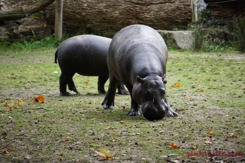 Hippopotame pygmé, Branféré @pink.turtle.blog