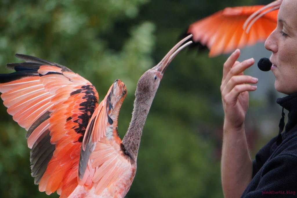 Spectacle des oiseaux, Branféré @pink.turtle.blog