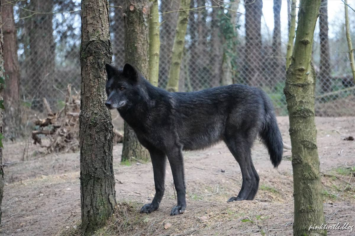Loup, Legendia Parc @pink.turtle.blog