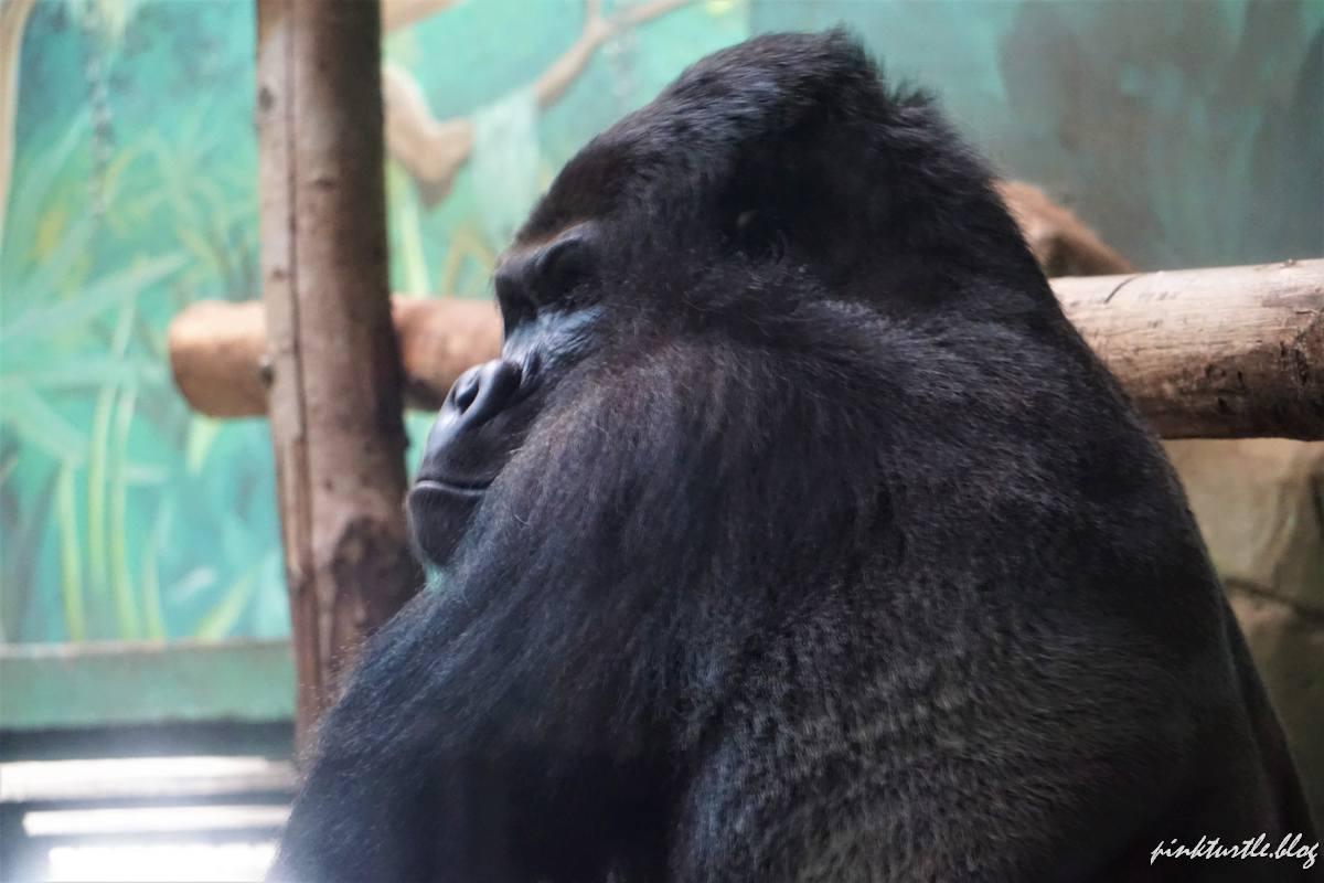 Gorille, zoo de la Boissière du Doré @pink.turtle.blog