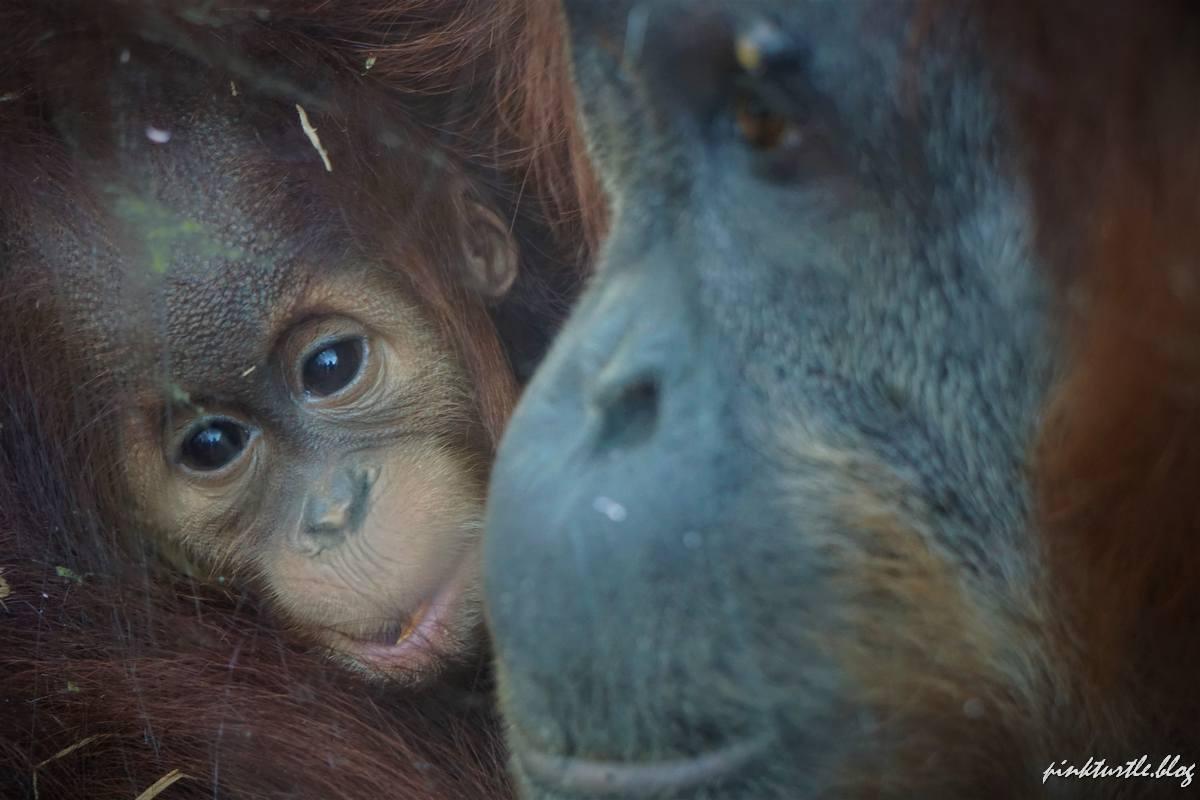 Orang outan, zoo de la Boissière du Doré @pink.turtle.blog