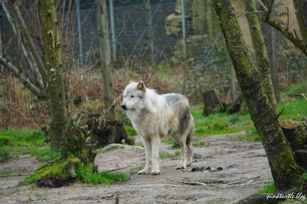 Loup blanc, mâle alpha, zoo de la Boissière du Doré @pink.turtle.blog