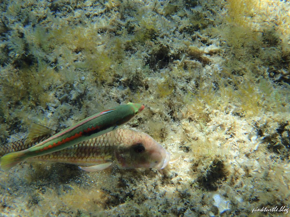 Snorkeling, Corse @pinkturtle.blog